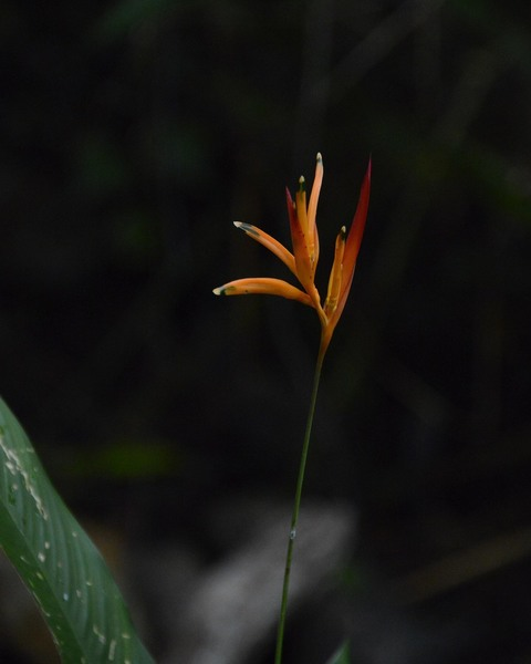 Heliconia - Costa Rican Rain Forest